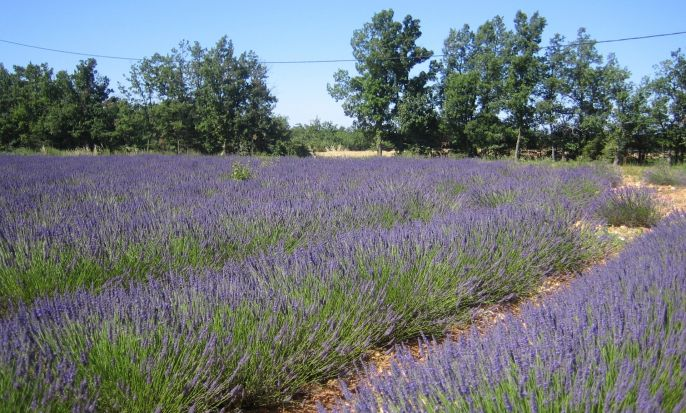 Provence, Luberon & Lavender - guided tour